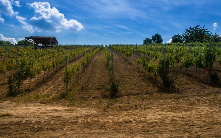 Grape field at Etyek, Hungary
